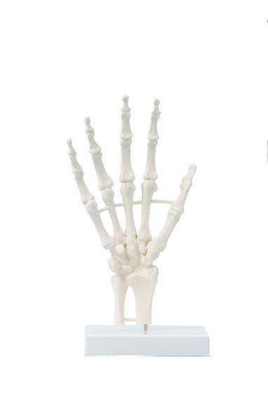 Hand skeleton, block model Erler Zimmer