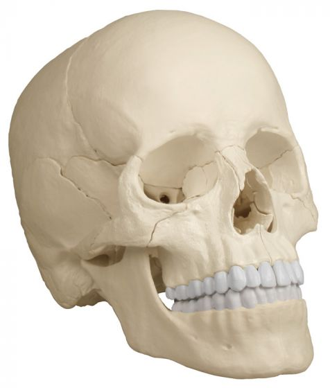 Osteopathic skull model 22 parts anatomical version R4701 Erler Zimmer
