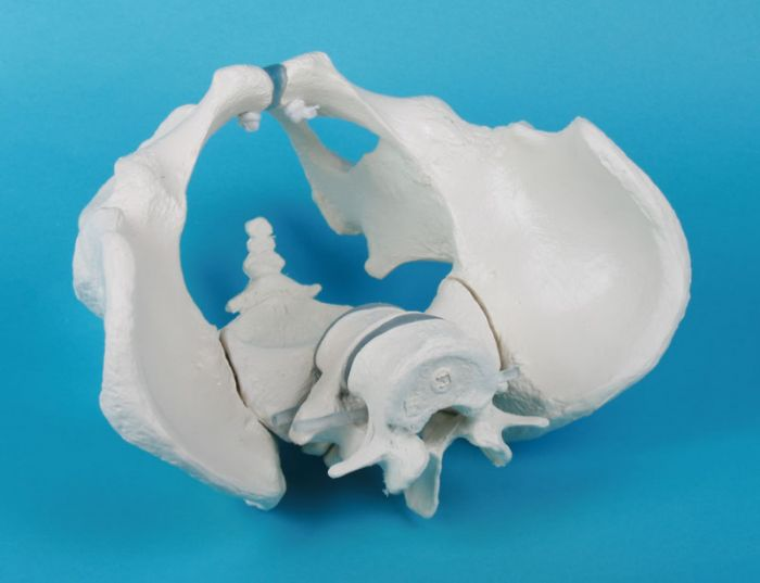 Male pelvis with sacrum and 2 lumbar vertebrae Erler Zimmer