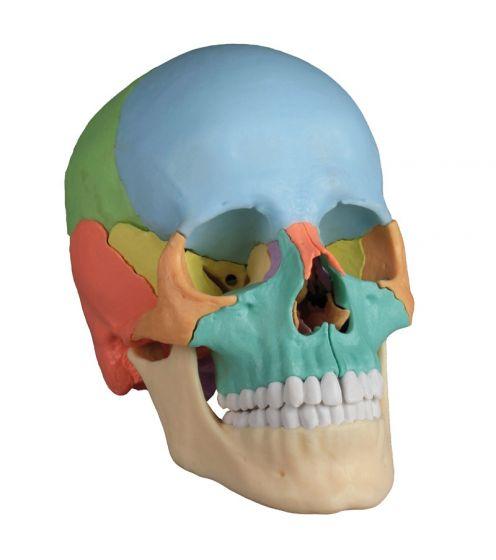 Osteopathic skull model, 22 parts didactical version R 4708 Erler Zimmer