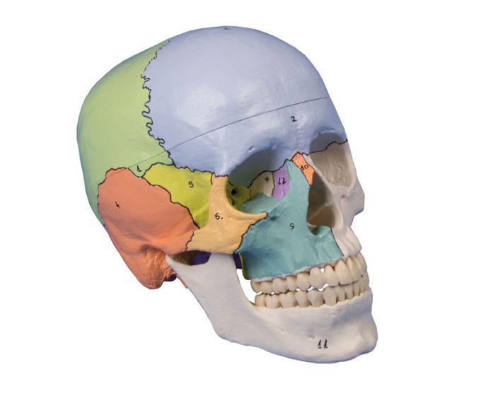 Didactical skull 3 parts Erler Zimmer