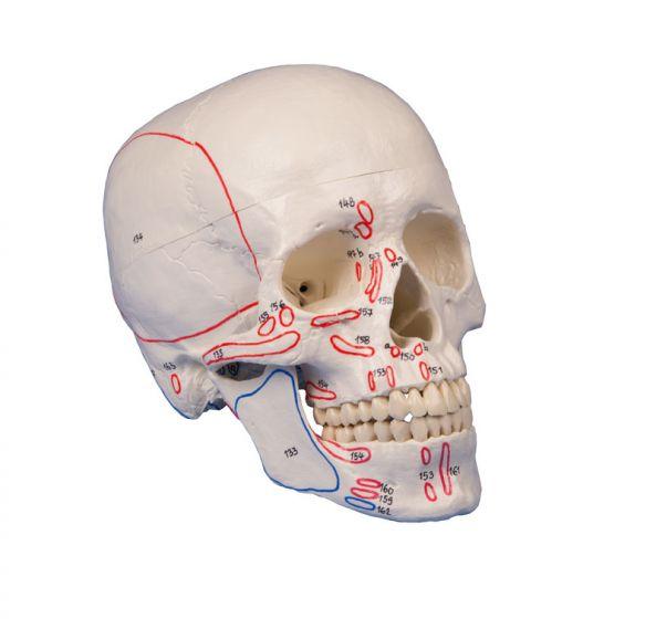 Skull model 3-parts with muscle marking Erler Zimmer