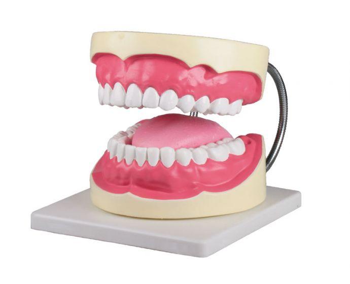 Oral hygiene model 3x life size Erler Zimmer