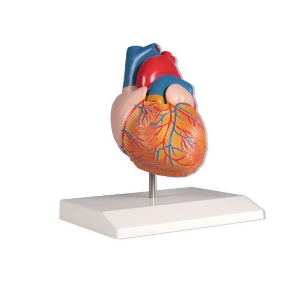 Heart model  2 parts life size Erler Zimmer