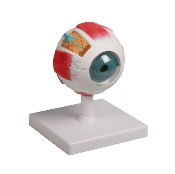 Eye model, 4 times life size, 6 parts Erler Zimmer
