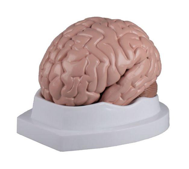 Brain model 5 parts Erler Zimmer