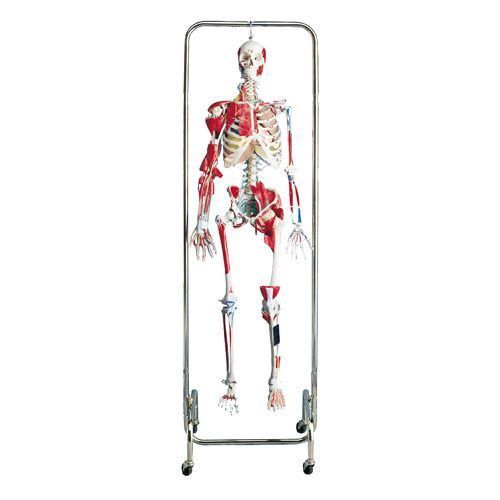 Physical Therapy Skeleton W47001