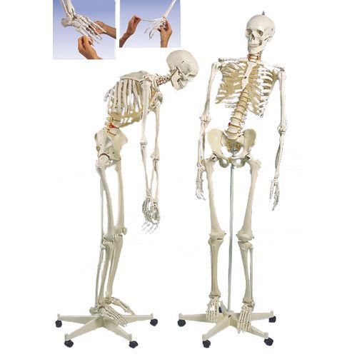 Flexible Human Skeleton Fred,  A15/2