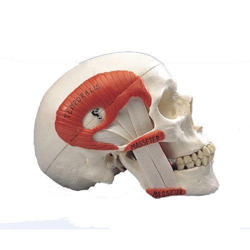 TMJ Human Skull, A24
