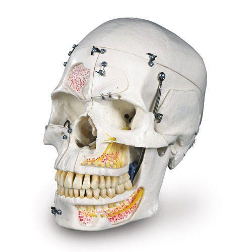 Deluxe Human Dental Skull, A27