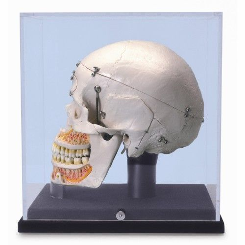 Deluxe Human Dental Skull with display globe A27/9