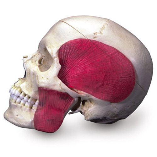 BONElike™ Transparent Human Skull A282