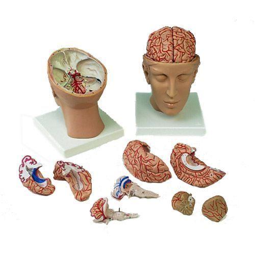 Brain inside Head C25