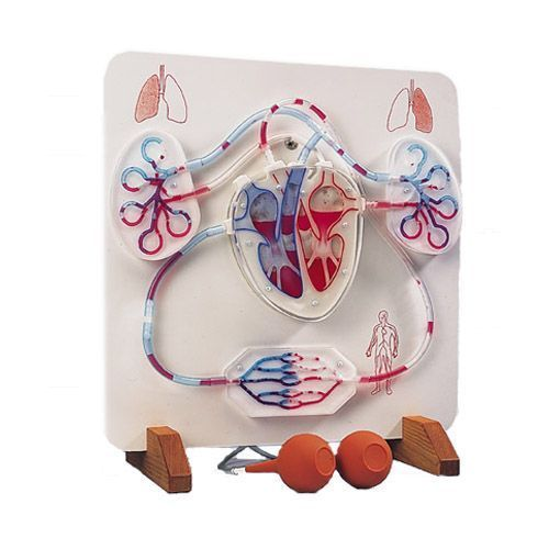 Functional Heart and Circulatory System W16001