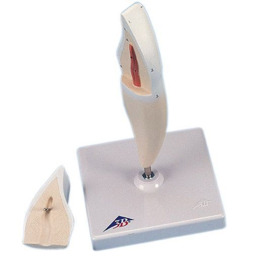 Lower Incisor Tooth D10/1