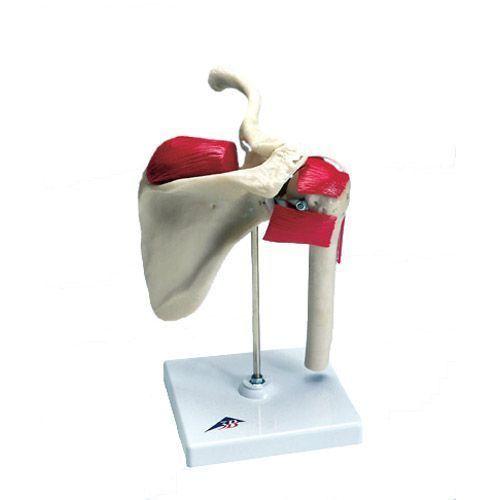 Shoulder anatomy of sportsmen W47002