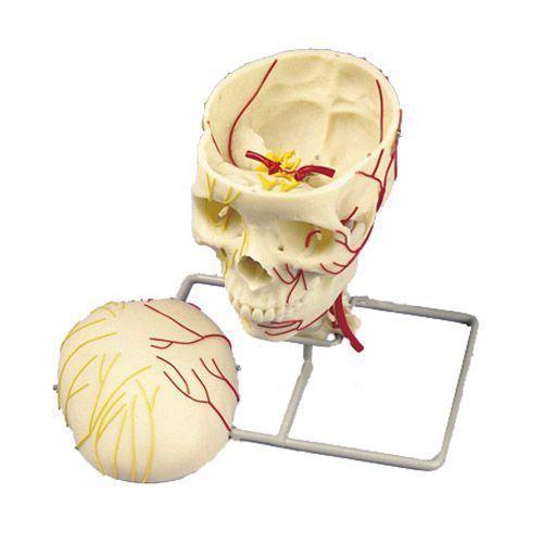 Neurovascular Skull W19018