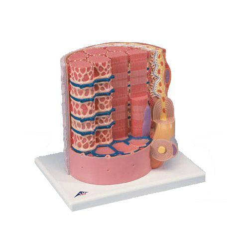 3B MICROanatomy Muscle Fiber 10,000 times magnified B60