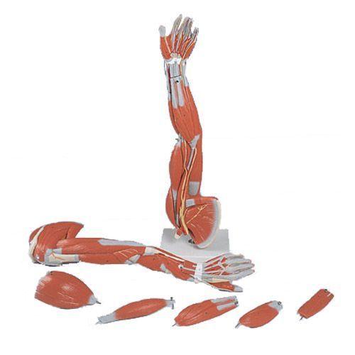 6-part Arm Muscles 3/4 Life Size M10