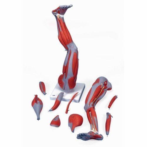 9-part Leg muscles 3/4 Life Size M20