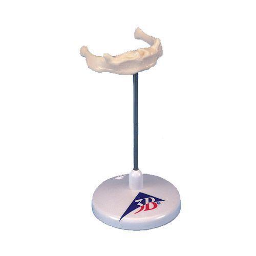 Hyoid bone A71/9