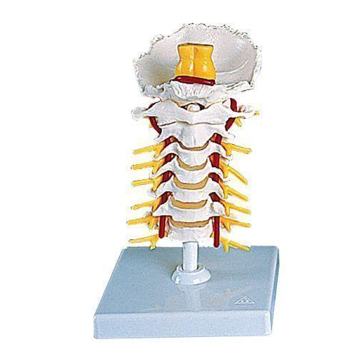 Cervical Spinal Column A72