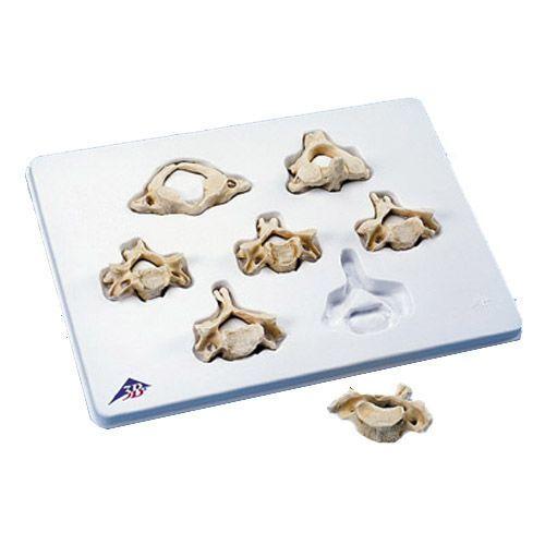 Set of 7 BONElike™ Cervical Vertebrae A790