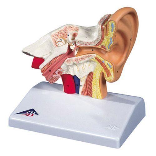 Desktop Ear Model, 1.5 times enlarged  E12