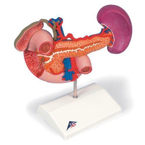 Epigastrium, posterior organs K22/2