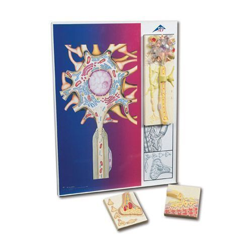 Nerve physiology C40, illustrated metal board with 5 magnets