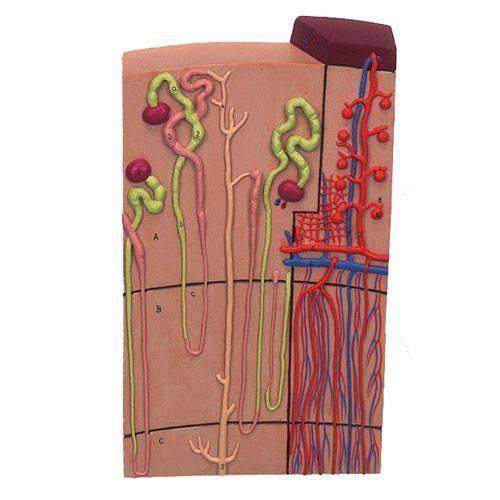 Nephron and Blood Vessels, 120 times magnified, K10/1