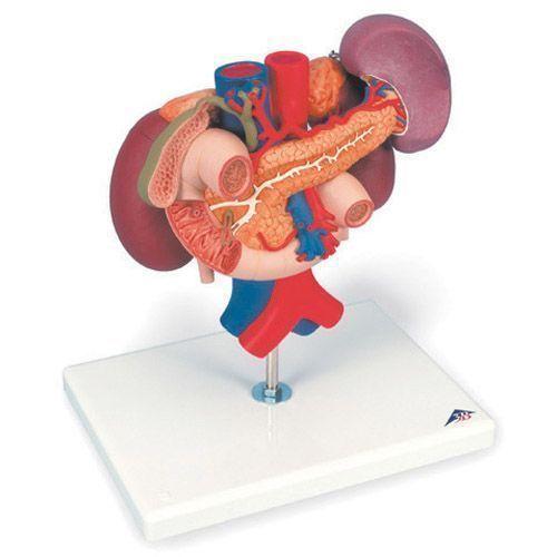 Kidneys, upper abdominal organs (posterior organs), 3 part K22/3