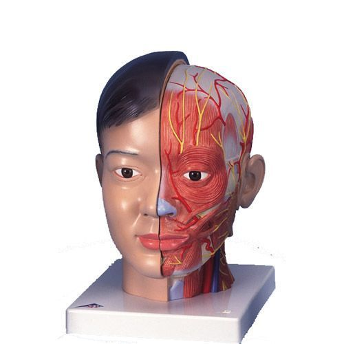 Head and neck anatomical model (asian figure), 4-part, C06