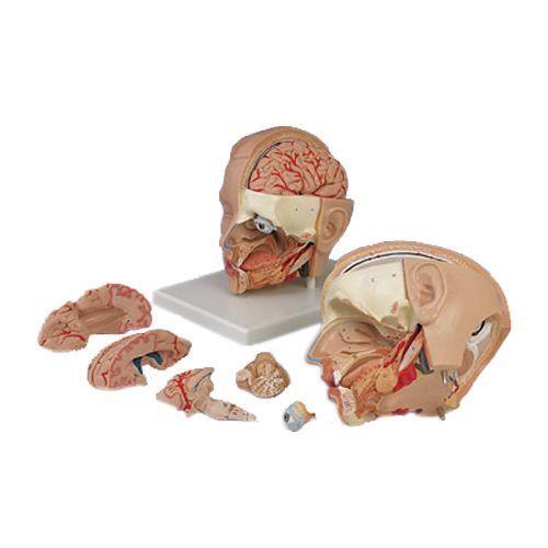 Head, anatomical model, 6 part, C09/1