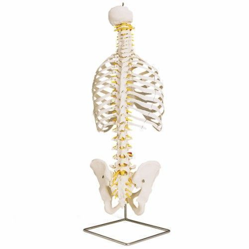 Classic Flexible Spine with ribs A56