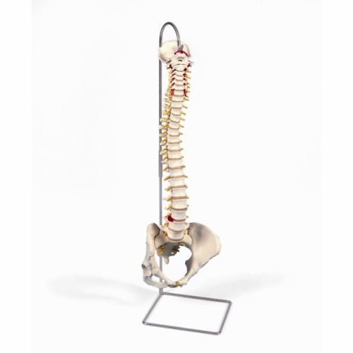 Flexible calssic spine with female pelvis A58/4