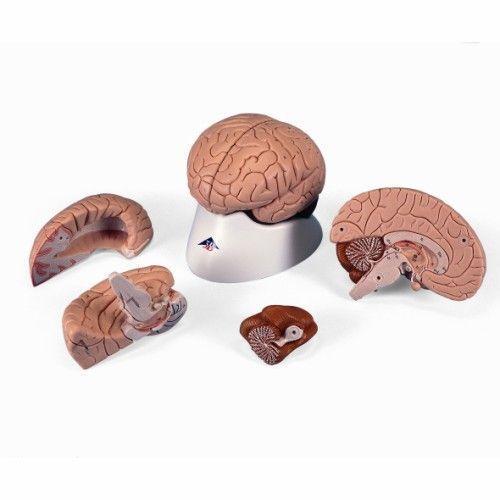 Brain, C16