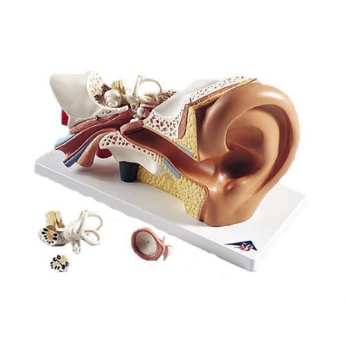 Ear,3 times enlarged, 4 parts E10