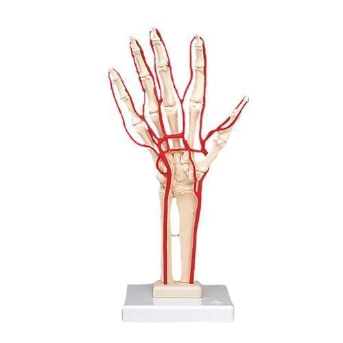 Hand Skeleton with Arteries M17