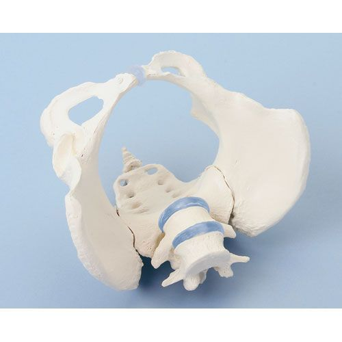 Female pelvis with sacrum and 2 lumbar vertebrae Erler Zimmer