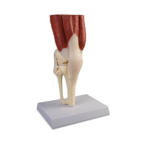Knee Joint life size with muscles Erler Zimmer