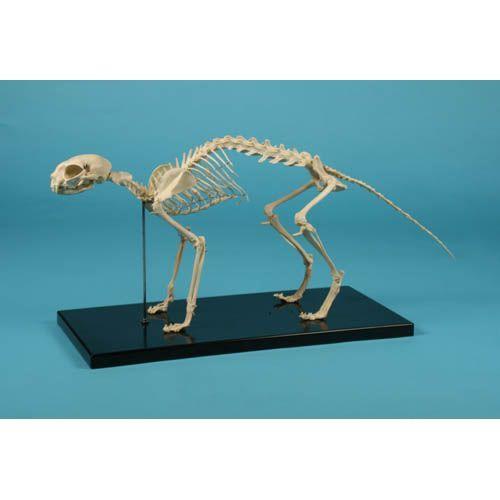 Cat Skeleton  Erler Zimmer