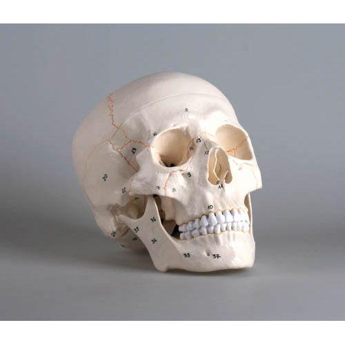 Skull model 3-parts numbered Erler Zimmer