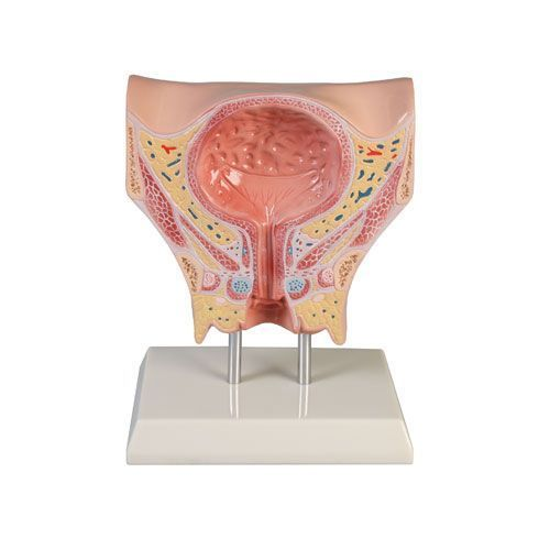 Female bladder model Erler Zimmer