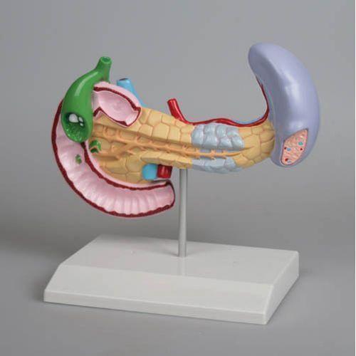 Diseases of Pancreas, Spleen, Gall bladder model Erler Zimmer
