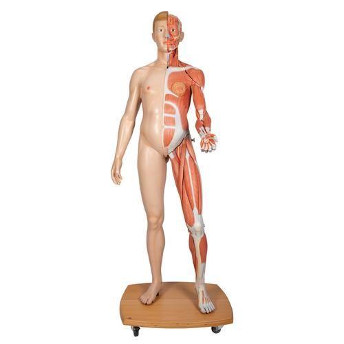 Model of caucasian bisexual human body, Life size, 39-part  B53
