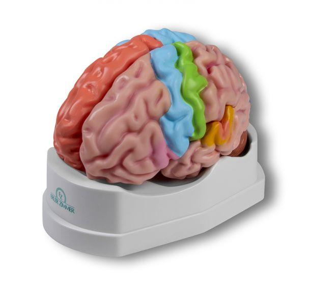 Brain functional / regional 5-parts Erler Zimmer