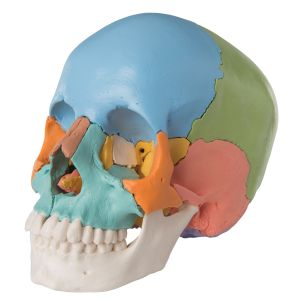 Adult Human Skull - Didactic Coloured Version, 22 part A291