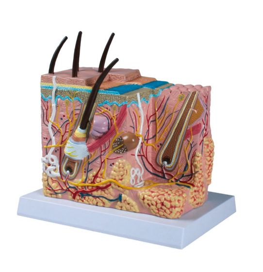 Skin block model  enlarged 50 times Erler Zimmer