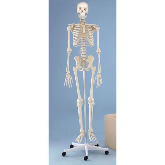Human Skeleton Willi, standard with a 5 wheels mounted stand Erler Zimmer